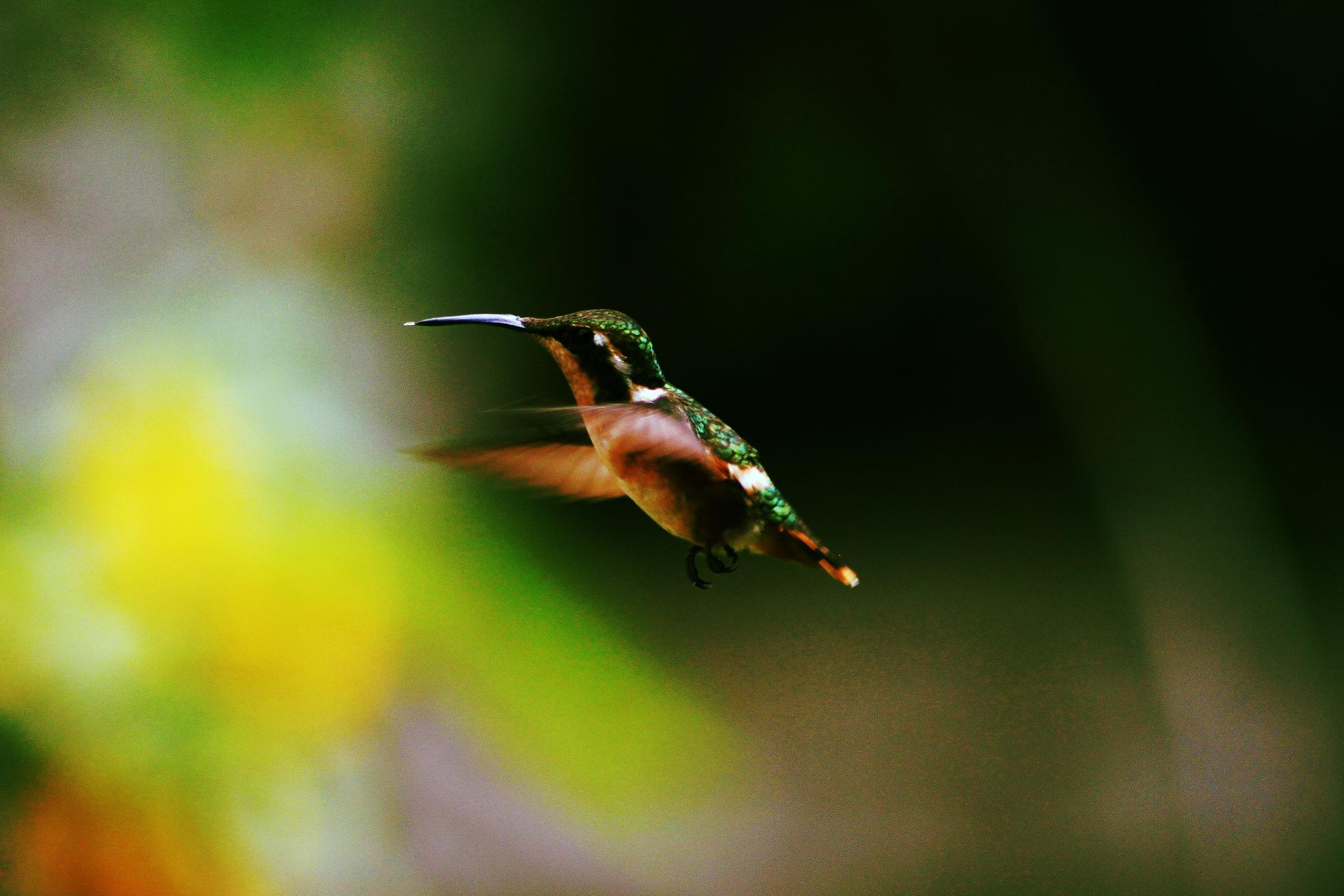 sa sv hummingbird.jpg