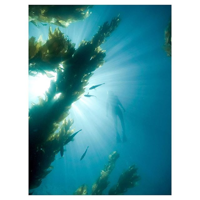 a surreal day in Catalina. #freedive #kelpforest
