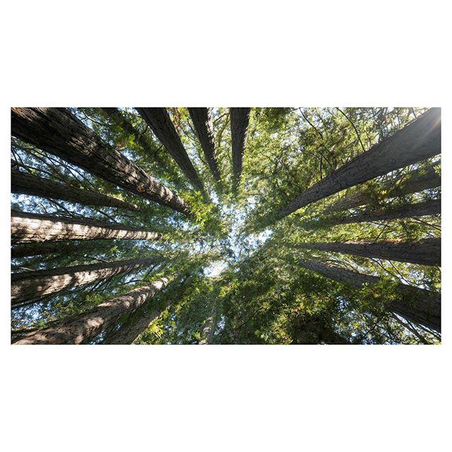 Tree vortex #sonoma #ca #redwoods #wineshoot