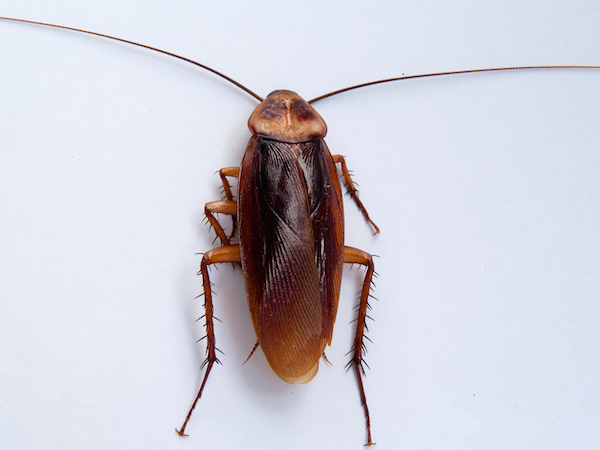 Large cockroach (American cockroach) Up to 5cm