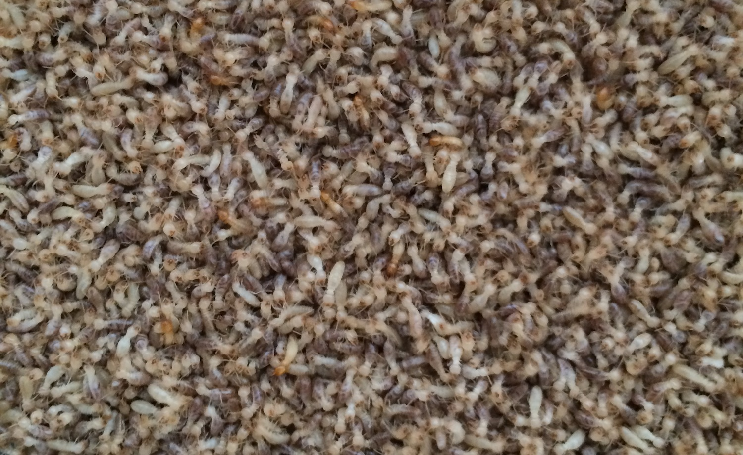 Termites can attack homes in great numbers, so it's important to know which are the best termite treatments to get rid of them and protect your home