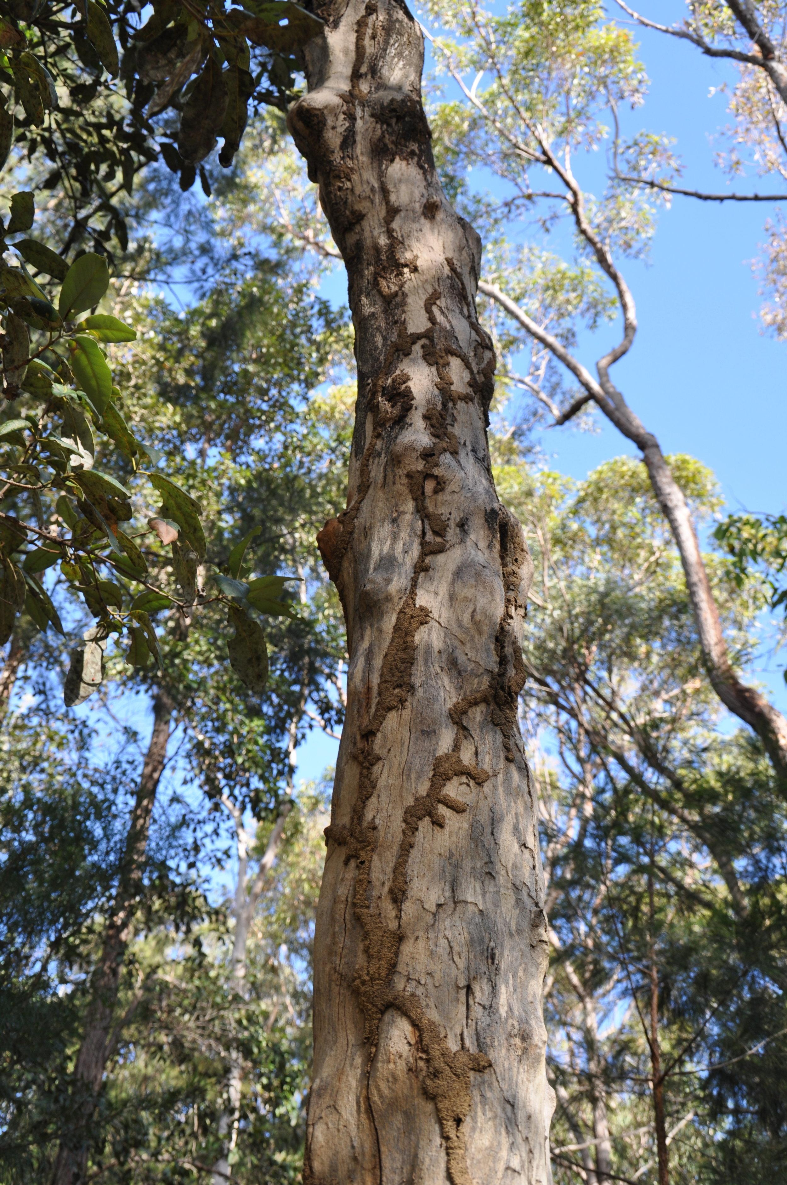 Termite mud tubes on tree
