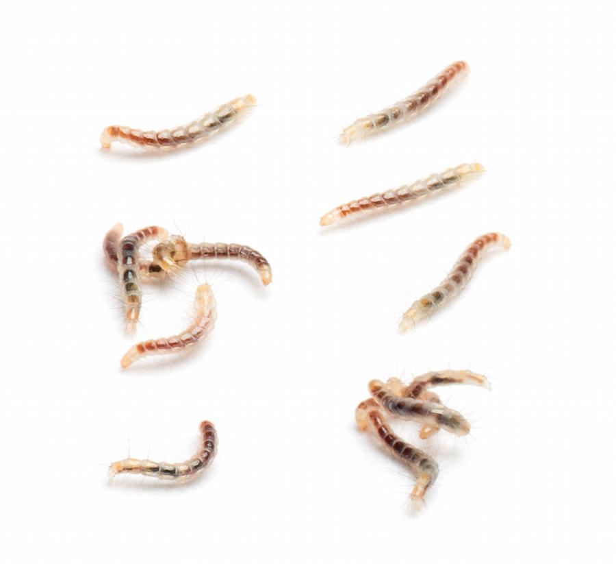 Flea larvae