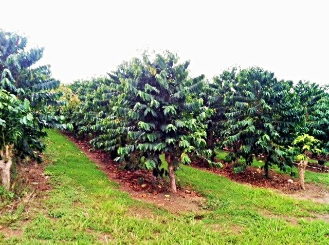 KEALAOLA FARM, Kealakekua Hawaii