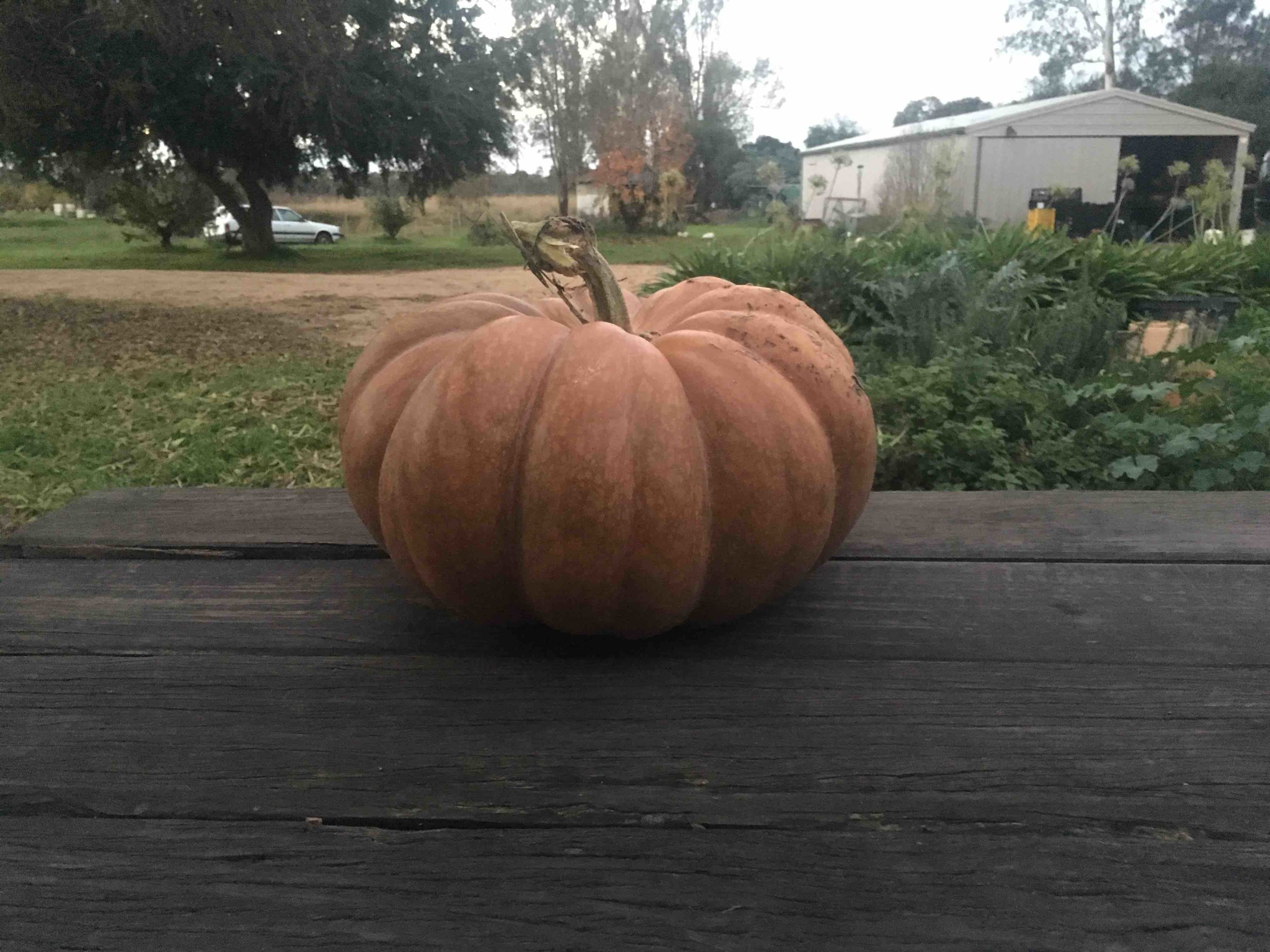 Farm Pumpkin.jpeg