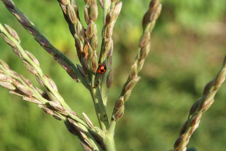 Lady beetle seeking shelter in sugar cane.