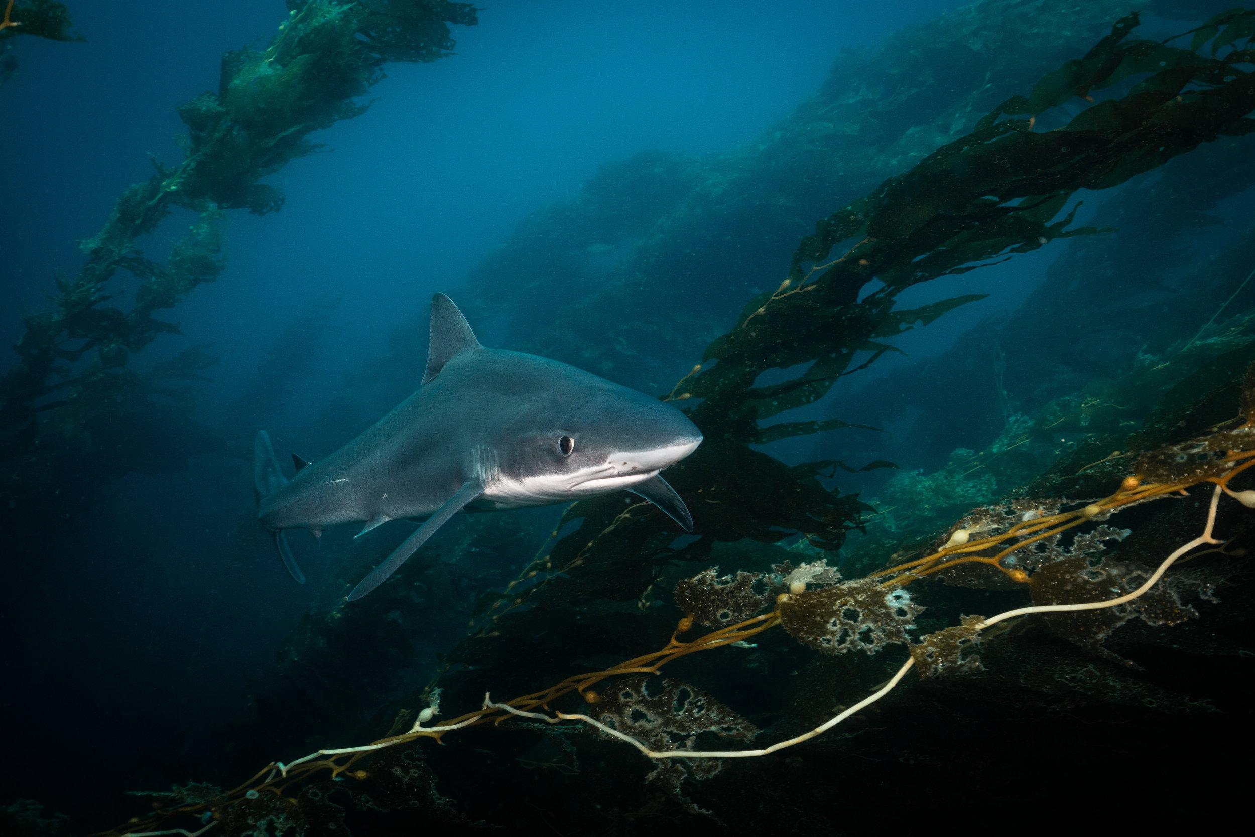 Tope Shark-.jpg