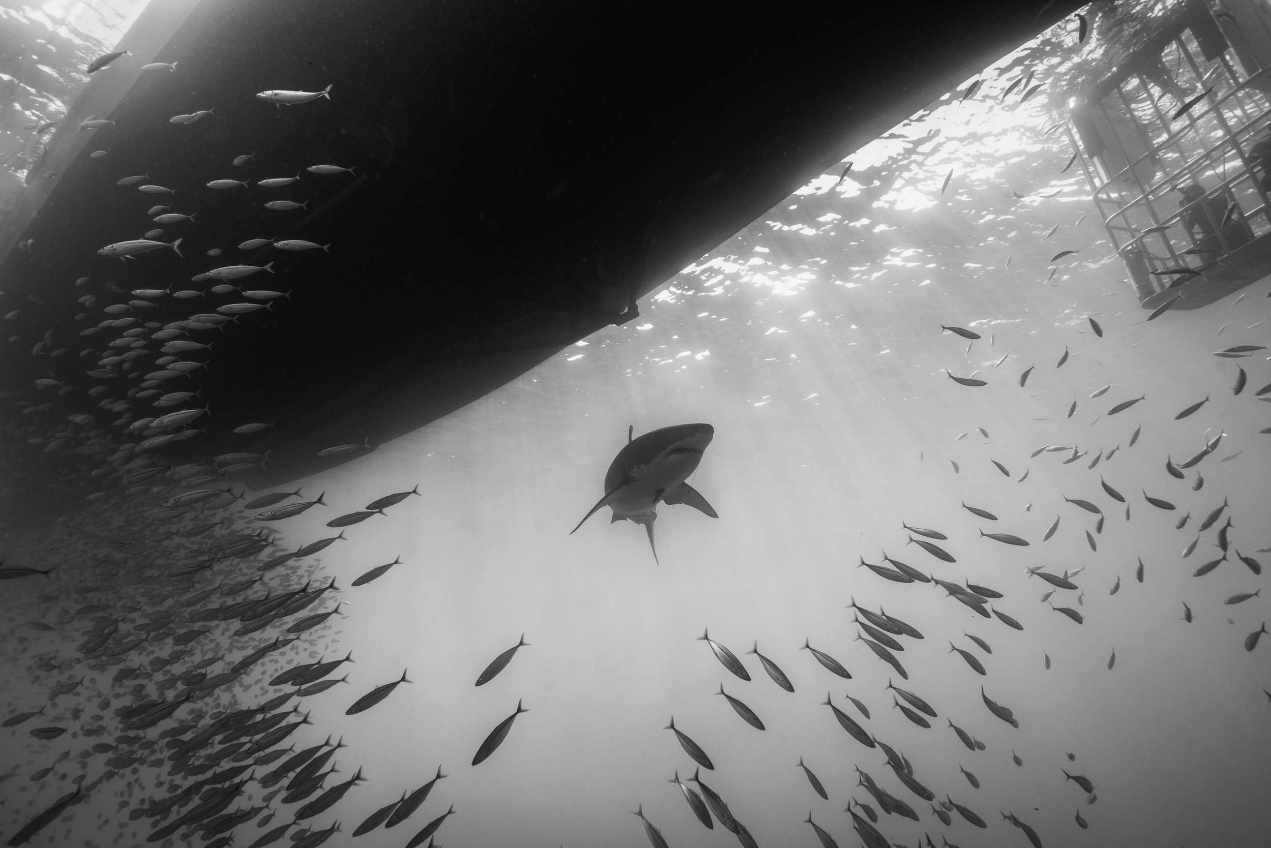 Shark Low Res--4.jpg