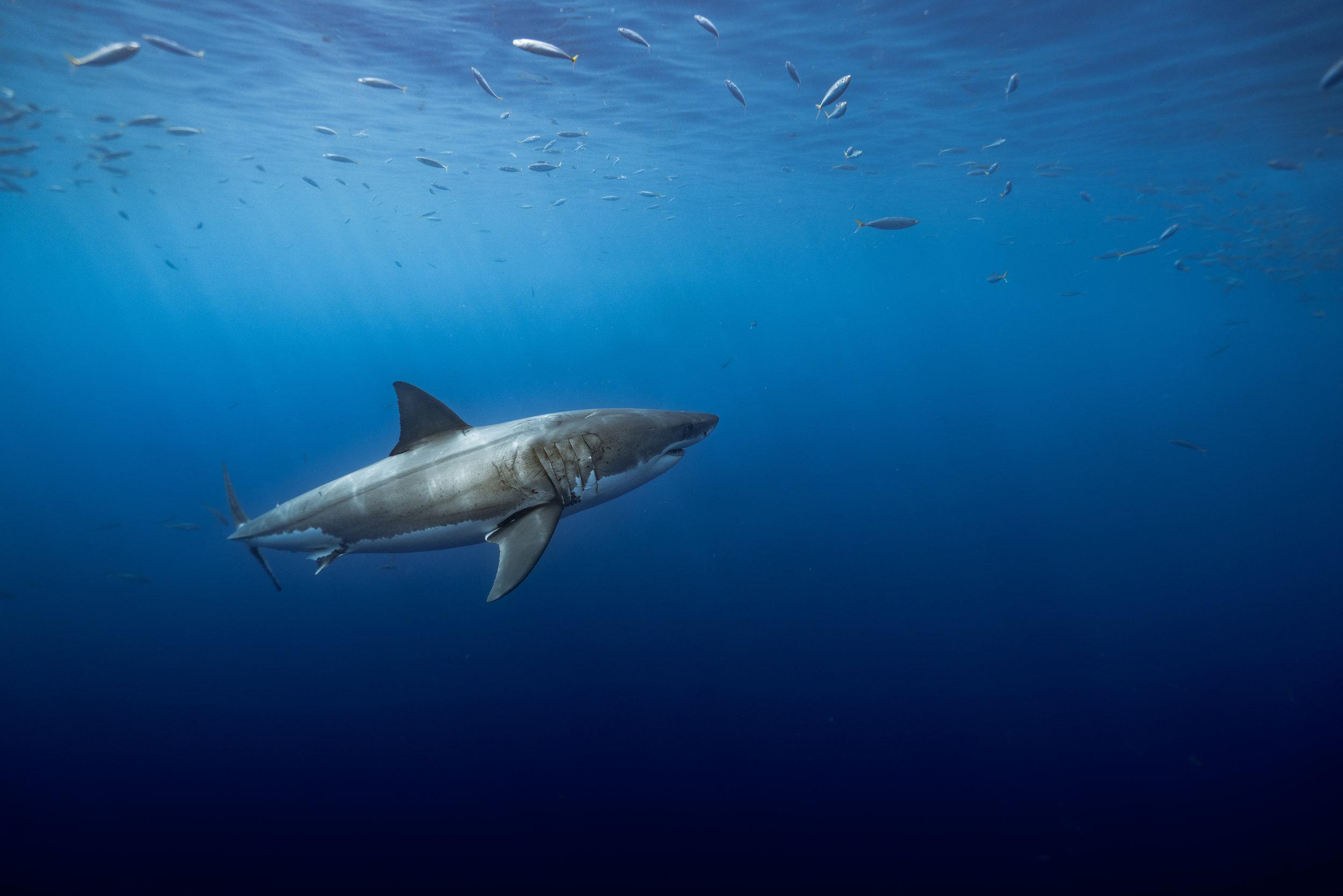 Shark Low Res--15.jpg