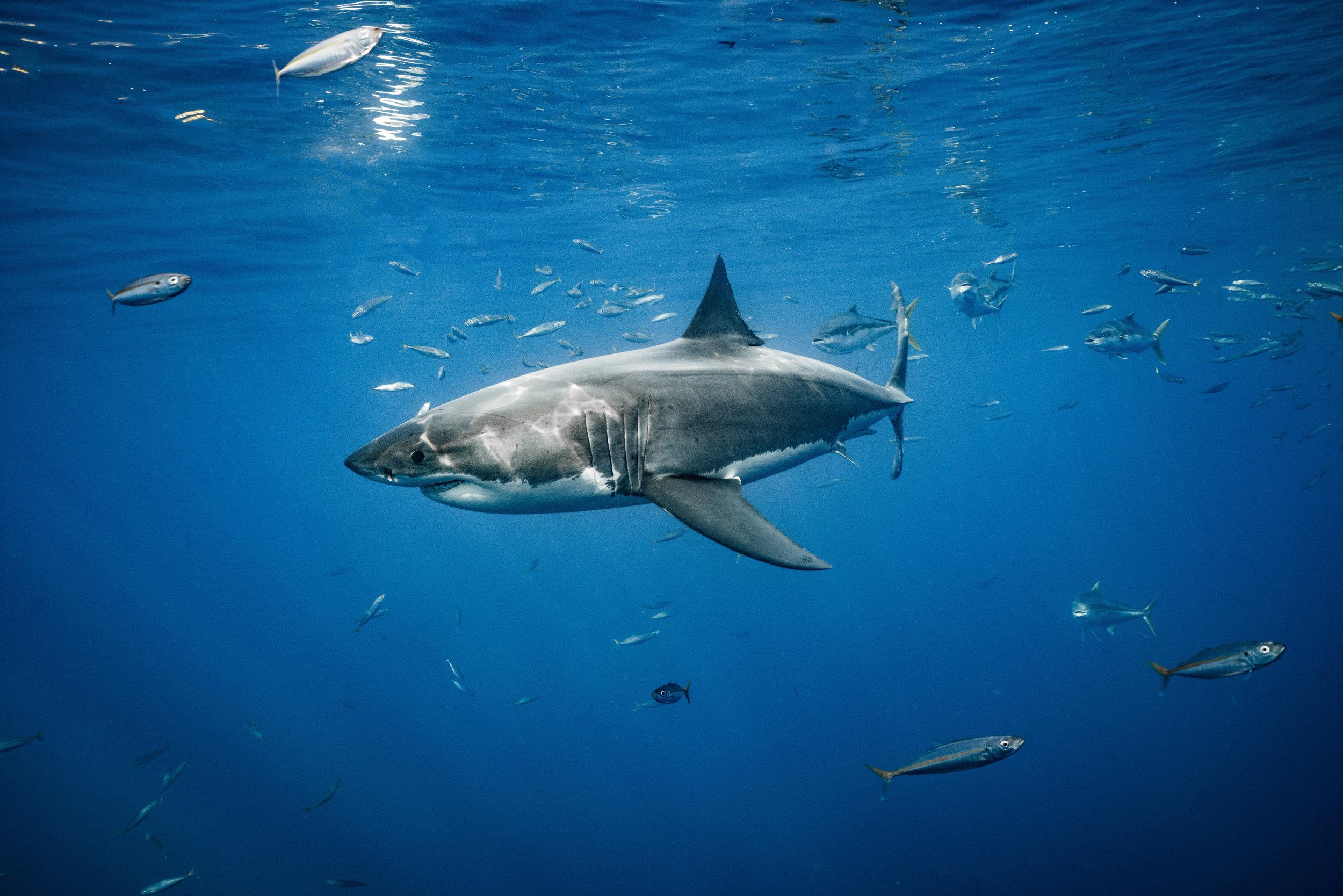Shark Low Res-.jpg