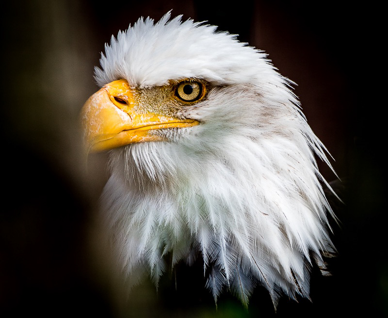 Eagle -5956.jpg