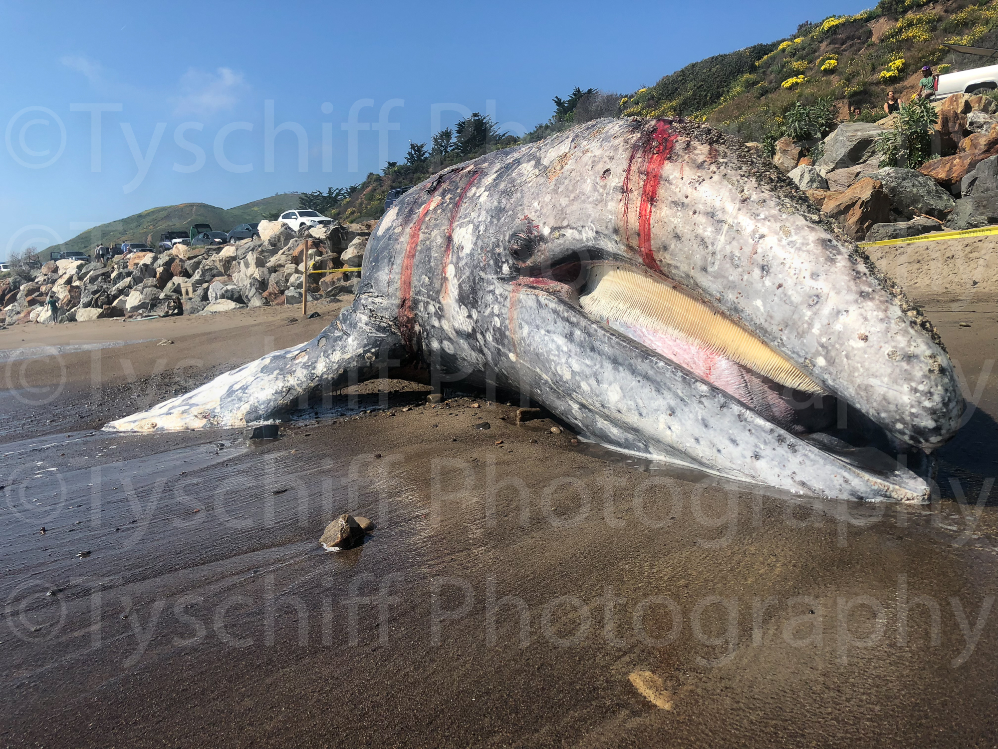 Grey Whale-5.jpg