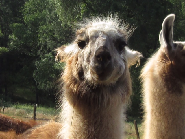 CALIFORNIA - Accepted an invite from a new friend to visit and help on a Llama Ranch.