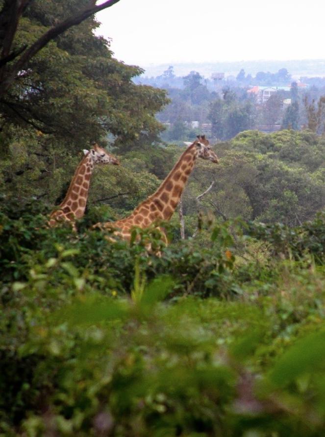 Rothschild Giraffes at Giraffe Centre Nairobi.png