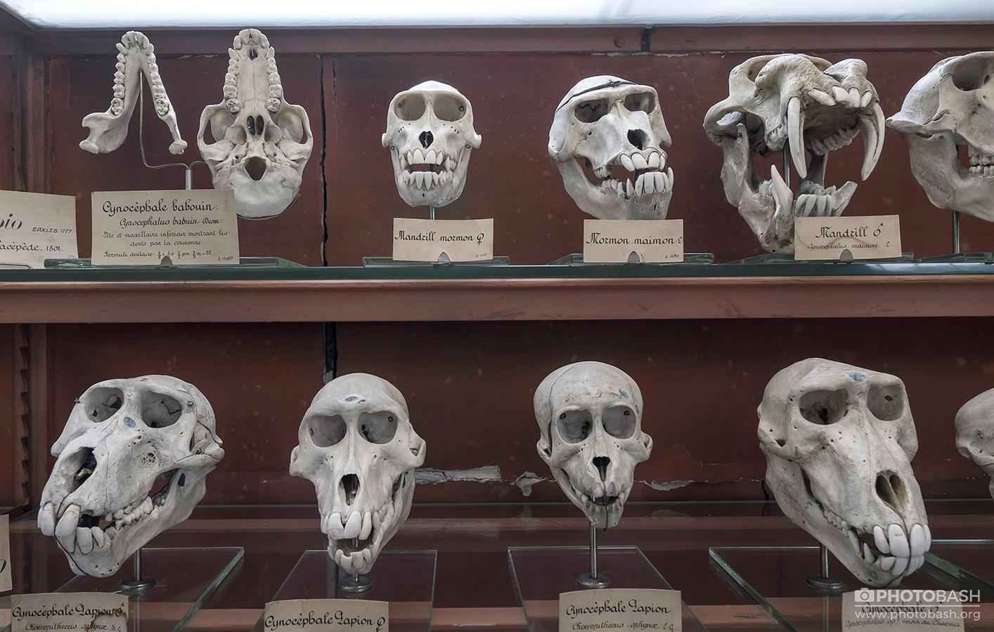 Skulls-Bones-Primates.jpg