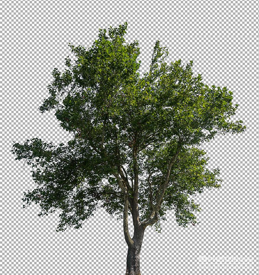 Deciduous-Trees-PNG-Archvis.jpg