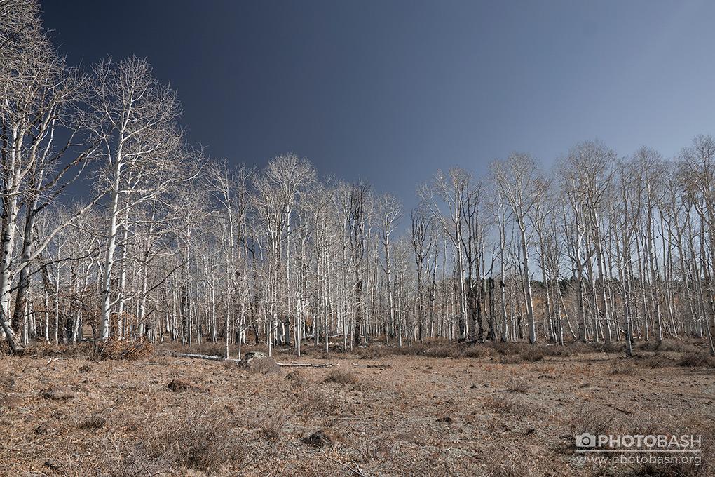 White-Forest-Dead-Trees.jpg