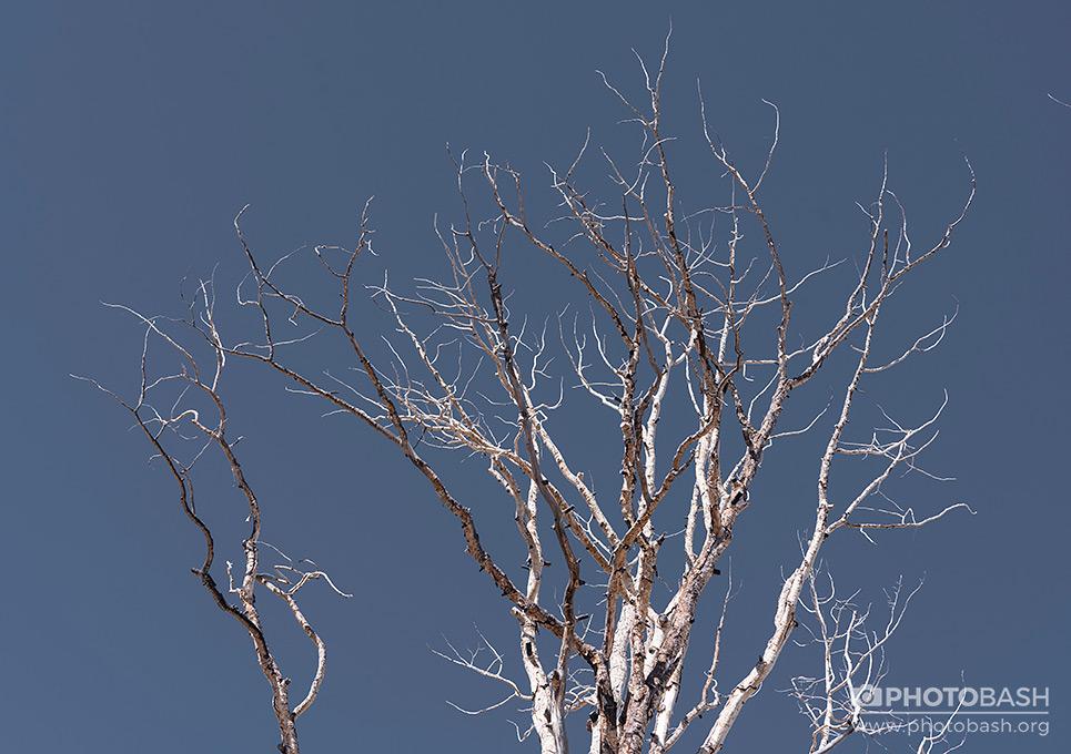 White-Forest-Dead-Tree-Tops.jpg