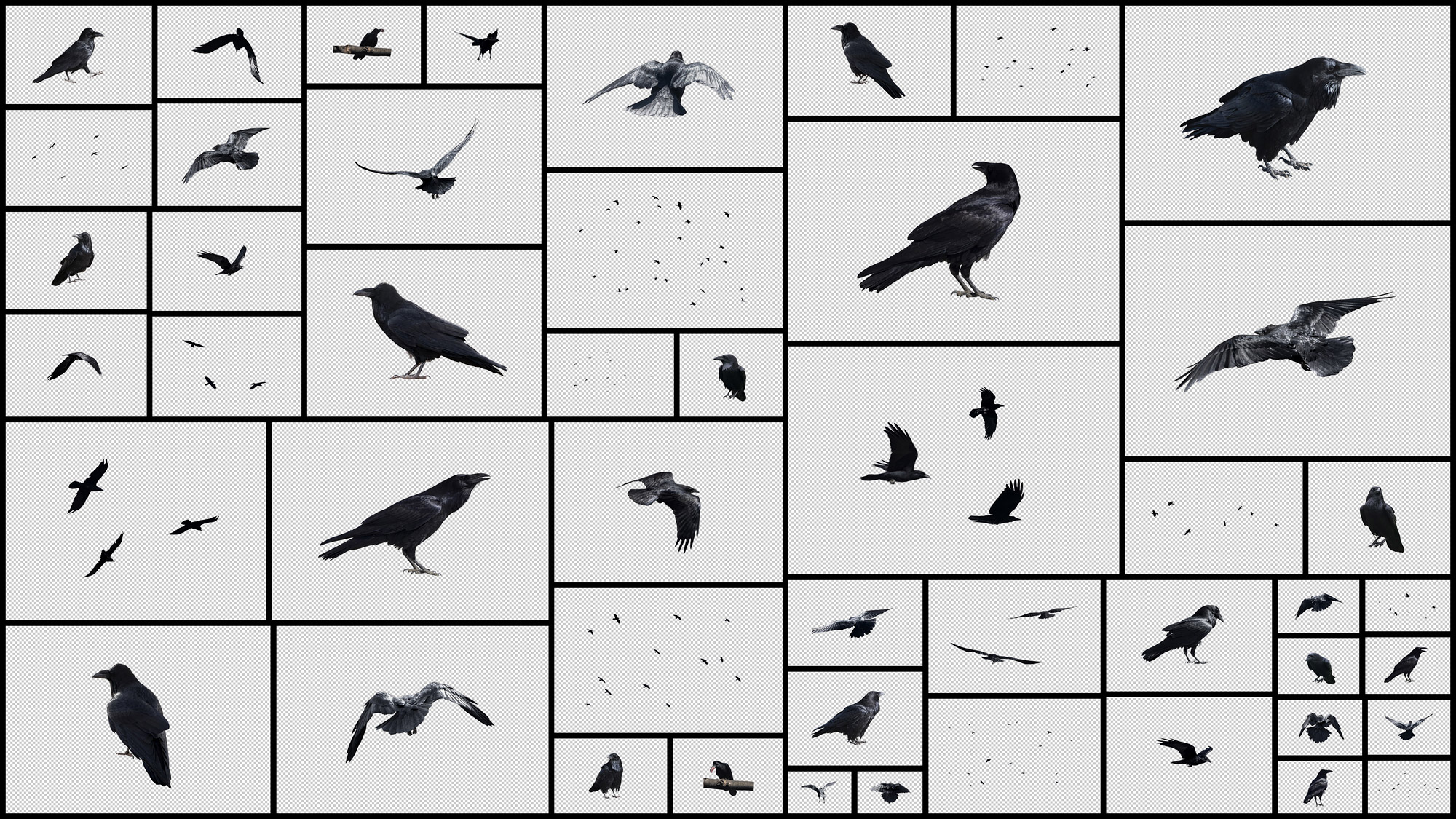 Crows-&-Ravens.jpg