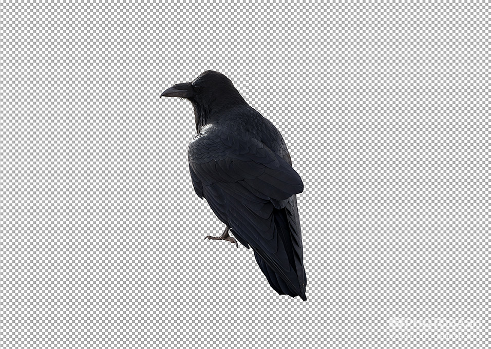 Crows-Ravens-PNG-Masked.jpg