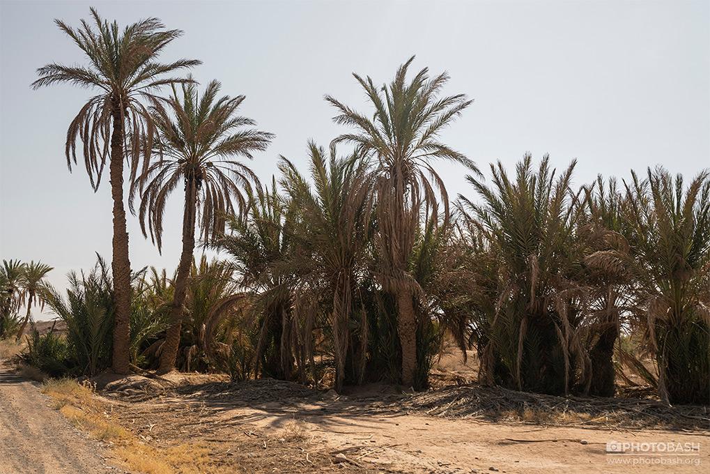 Desert-Palm-Grove-Arid-Trees.jpg