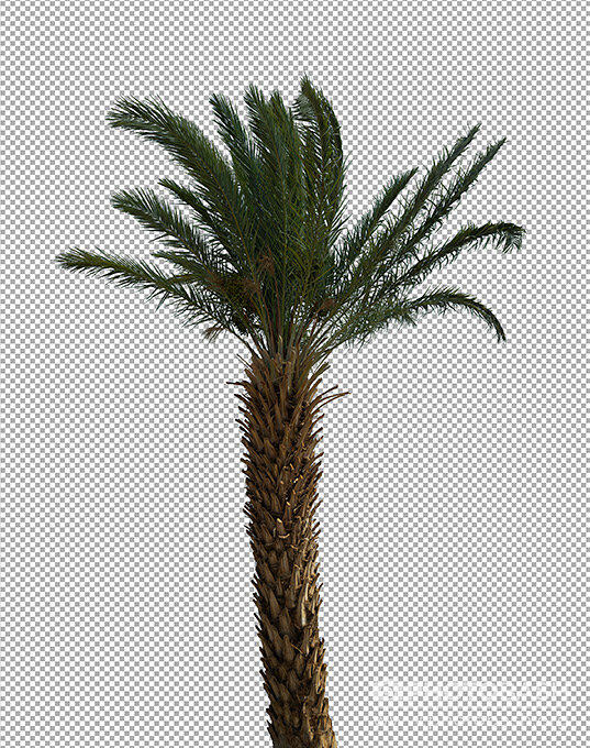 Palm-Trees-Masked-PNG-Plant.jpg