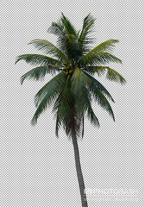 Palm-Trees-Tropical-PNG-Coconut.jpg