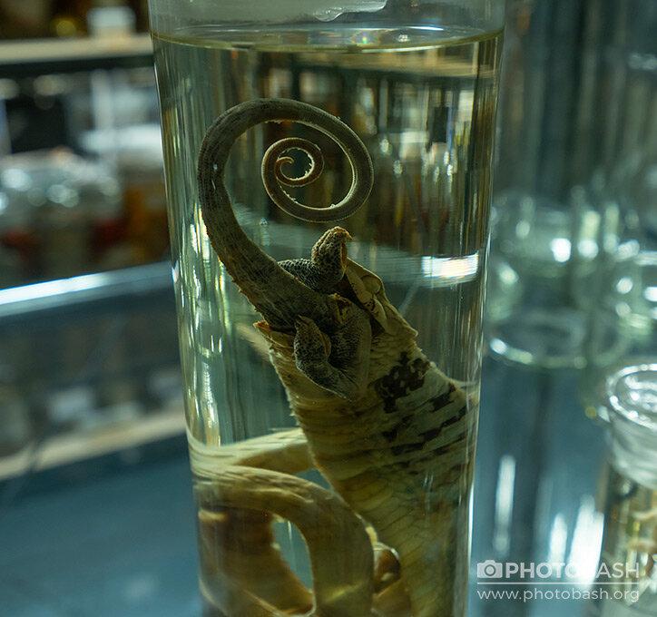 Jarred-Specimens-Reptile-Creature-Preserved.jpg