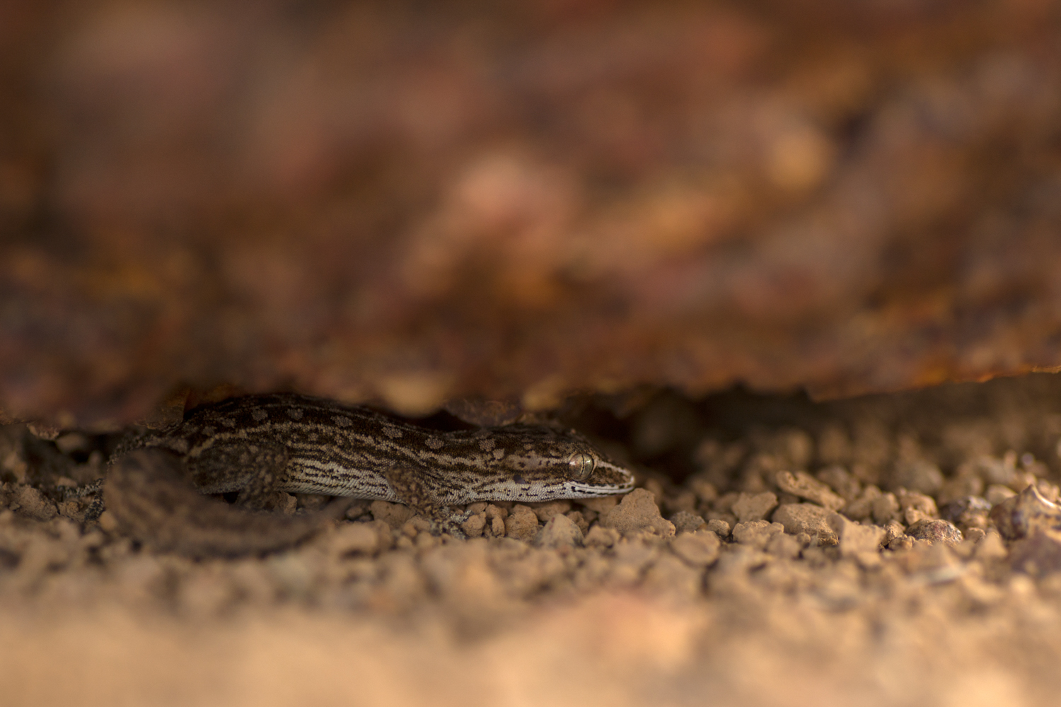 The heat lays the plateau bare, but beneath the rocks reptiles thrive. A  Hemidactylus satarensis  gecko, waiting under the rocks biding its time till the sun goes down.