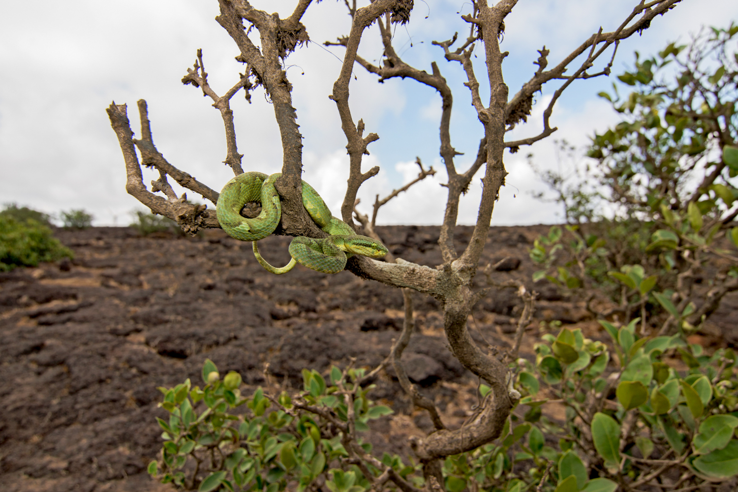The bamboo pit viper ( Trimeresurus gramineus ) rests on the barren tree,  waiting for night to fall.