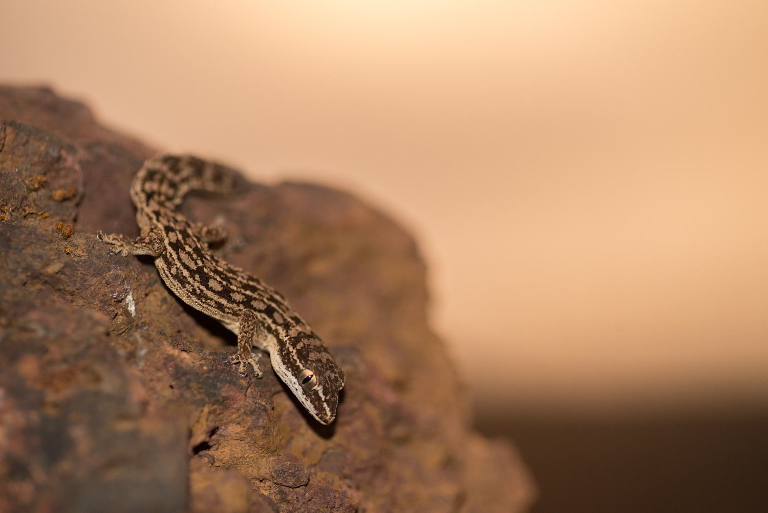 No man is an island, but each plateau is one.  Hemidactylus satarensis  is a classic example of plateaus catalyzing speciation. This rare species is endemic to Chalkewadi plateau.