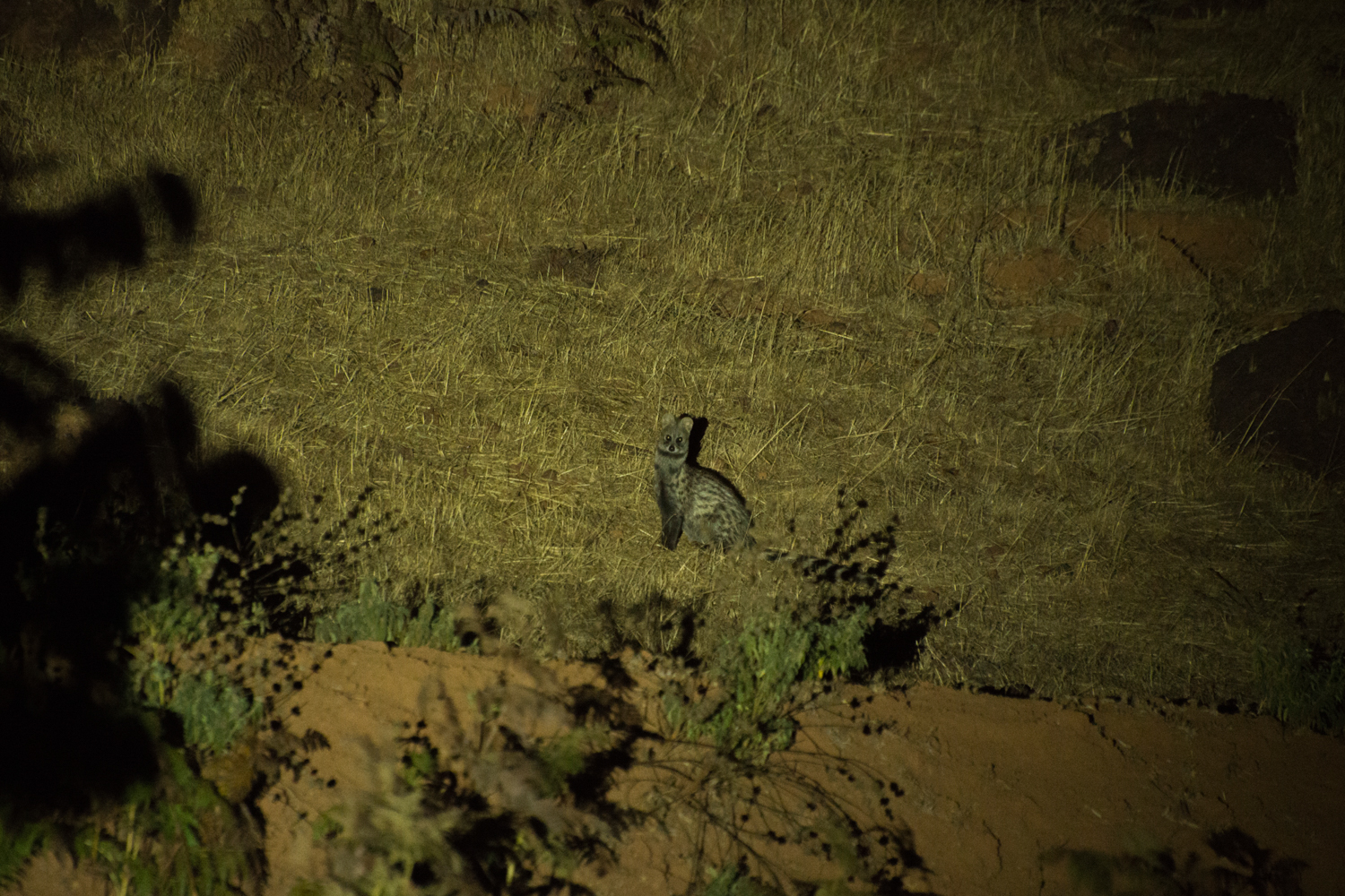 and the Small Indian civet ( Viverricula indica ) move out of the Koyna forest towards the Chalkewadi plateau.