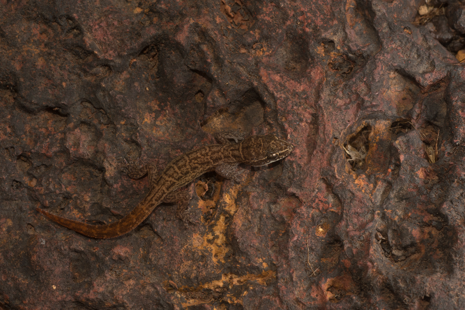 Another member of the  Hemidactylus  genus,  H. albofasciatus , perches on rust red lateritic rocks on plateaus in the coastal Ratnagiri district.