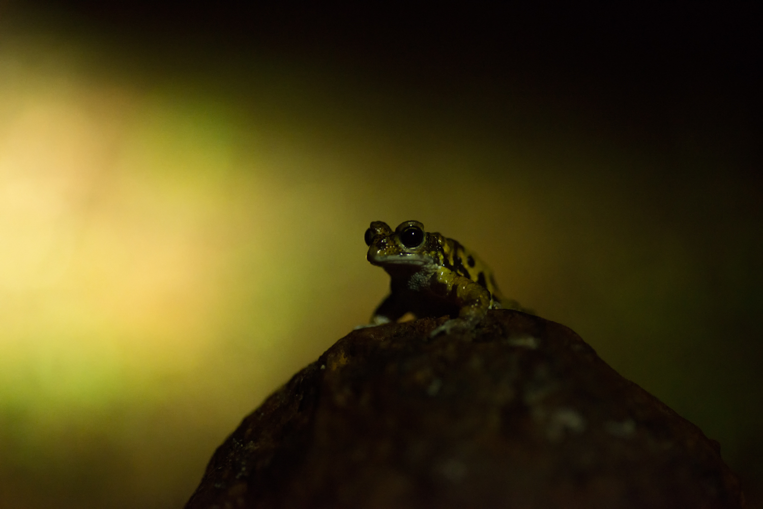 Washed clean by the rains, the plateau is a haven for frogs.  Xanthophryne tigerina , endemic to the Northern Western Ghats calls over the din of the rain, signaling to potential females on the plateau.