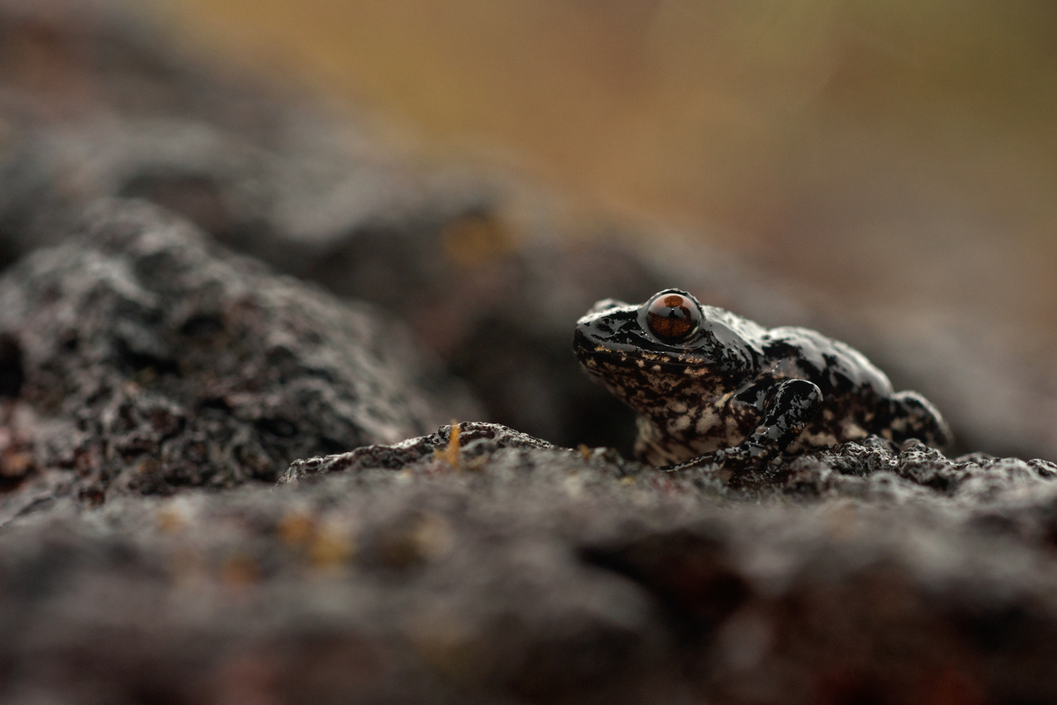 The abundance of frogs such as this endemic  Raorchestes  species makes the plateau inviting for several other animals of the Sahyadris.