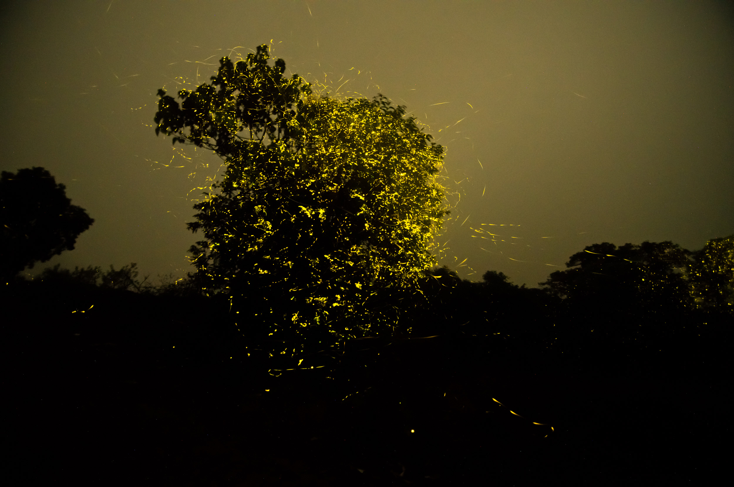 As hot days turn into cool nights, summers make way for monsoon. Fireflies signify the onset of the rains. Before the season of plenty, these beetles use bio-luminescence to call out to potential mates.