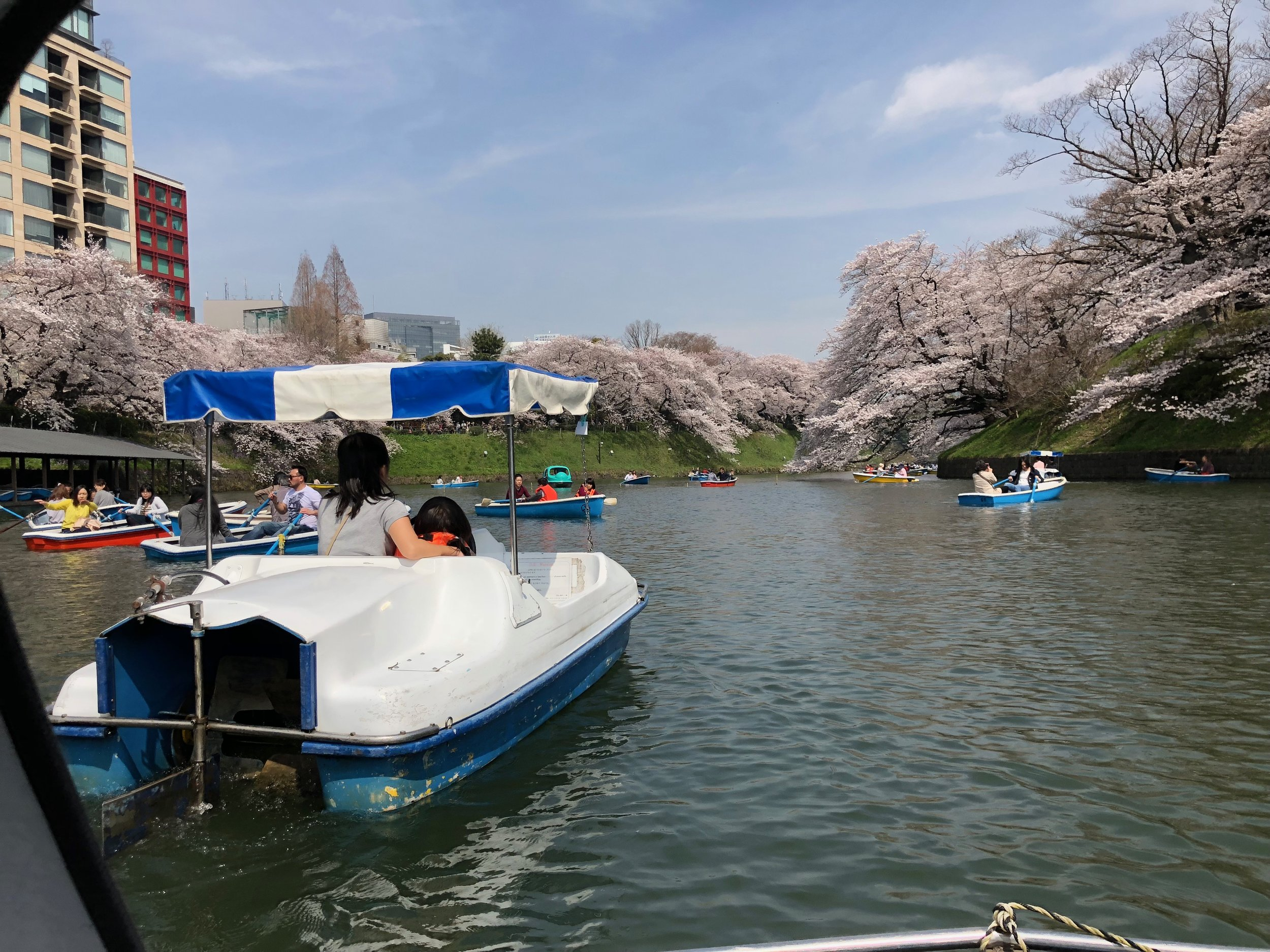 Cherry Blossom Season on meethaha.com