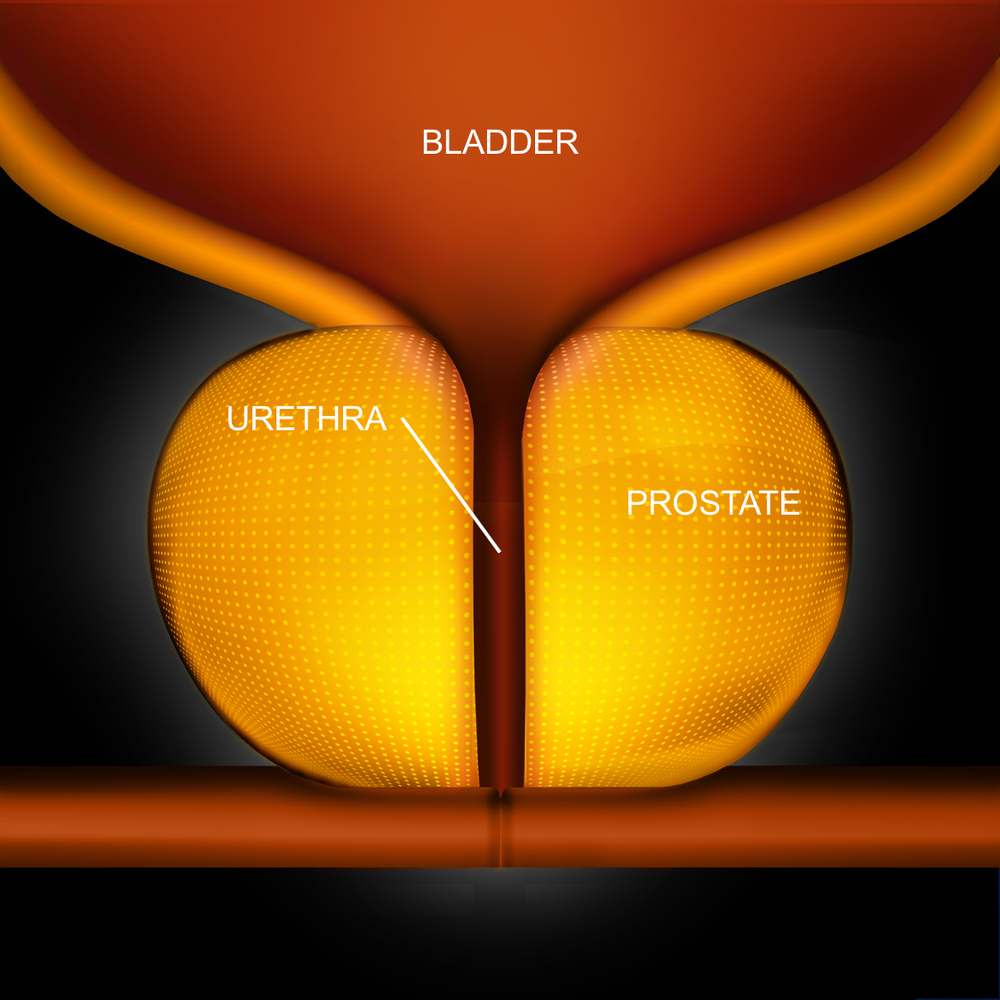 Normal Prostate