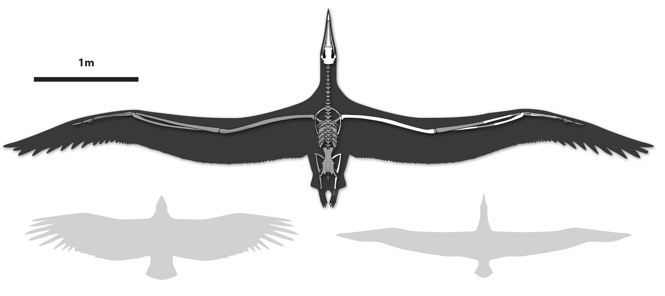 Pelagornis compared to a modern California Condor and Royal Albatross