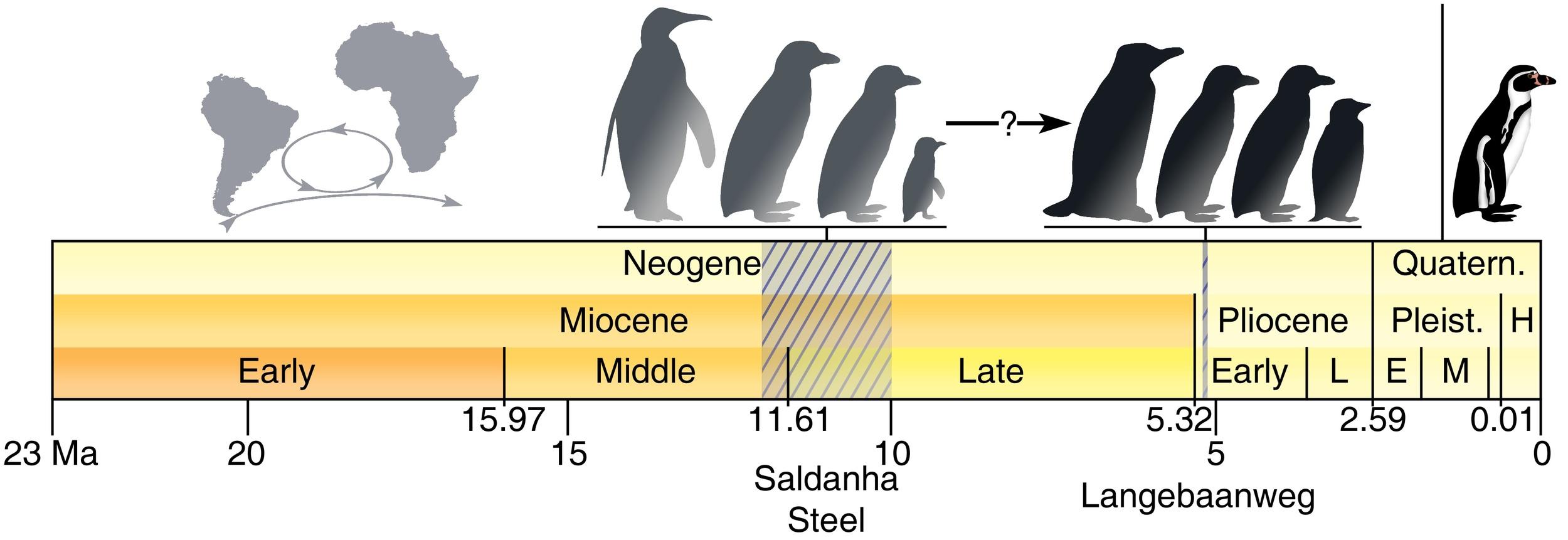 A timeline of African penguin diversity form Thomas & Ksepka (2014)