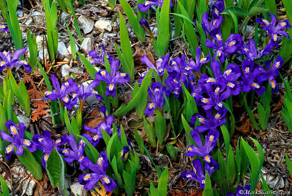 Dwarf lake Iris, large grouping; ©markscarlson.com