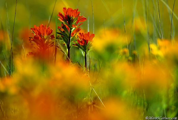 Indian Paintbrush of the Maxton Plains, select focus; ©markscarlson.com