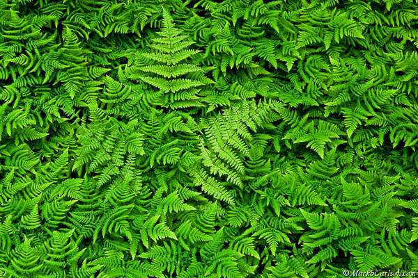 Wood Fern in Oak Fern colony; ©markscarlson.com