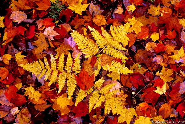 Yellow brachen fern in red maple leaves, autumn; ©markscarlson.com