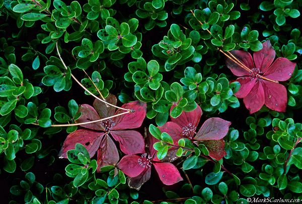 Bunchberry in Bearberry; ©markscarlson.com