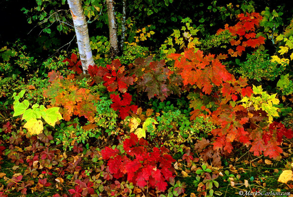 Tree seedlings and groundcovers with paper birch tree trunks in autumn color; ©markscarlson.com