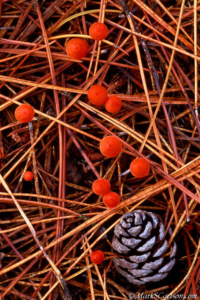 Vermillion Hygropherous mushrooms, pine cone and needles; ©markscarlson.com