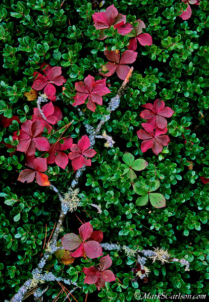 Branch through Bearberry and Bunchberry groundcovers; ©markscarlson.com