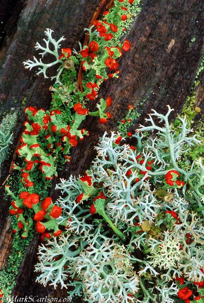 British Soldier and Reinder lichens on old log; ©markscarlson.com