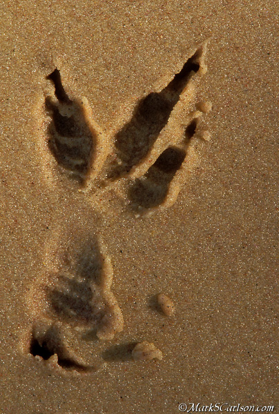 Raven track in wet sand; ©markscarlson.com
